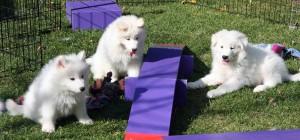 koiranpentuja leikkimässä