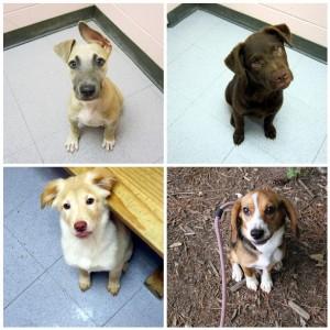 Kotia etsiviä koiranpentuja