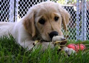 Koiranpentuja myytävänä, myydään koira