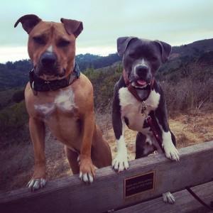 kaksi koiranpentua