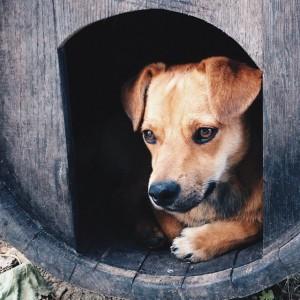 koirarodut - suloinen koiranpentu